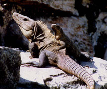 Big and little iguana sunning
